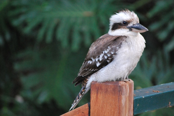 This kookaburra doesnt think so.