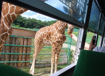 Feeding giraffes at Iwate Safari Park