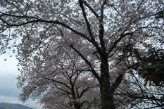 Cloudy hanami 曇りな花見