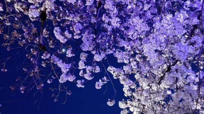 夜に花見 Cherry blossoms at night