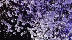 夜に花見 Cherry blossoms at night